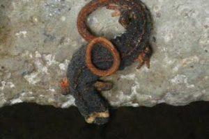 Una salamandrina in un'immagine di Joanna Pallaris