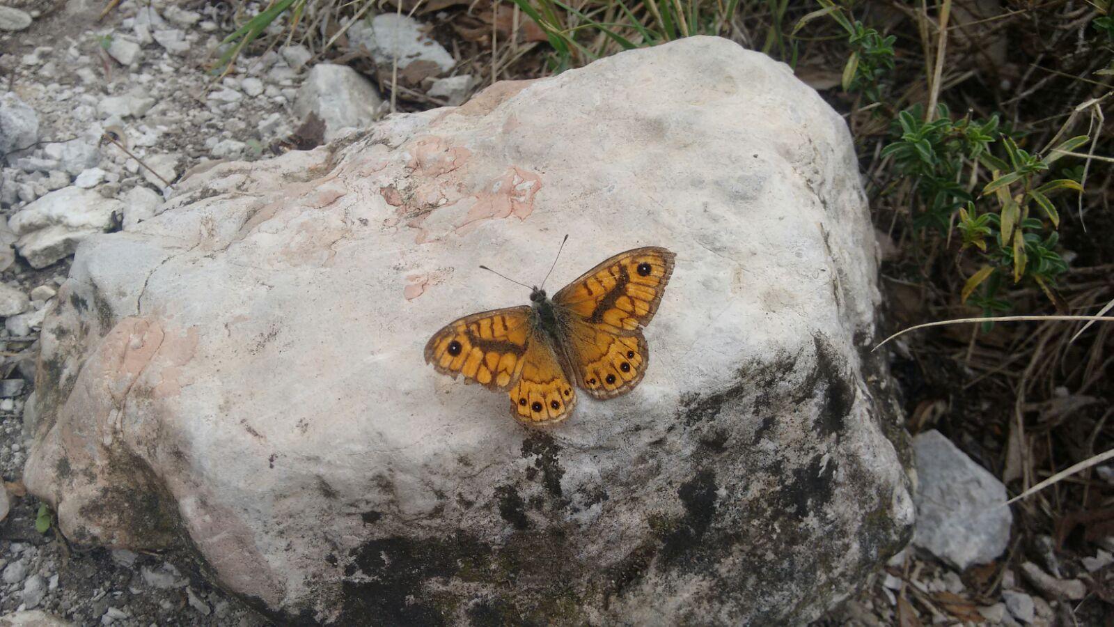 Lasiommata Megera (The Wall Brown)